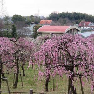 楽書き雑記「名古屋市農業センターの『しだれ梅まつり』が、『見ごろ』で開幕」