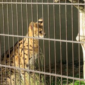 楽書き雑記「サーバルキャットとハクトウワシ。名古屋の東山動物園に新顔デビュー」