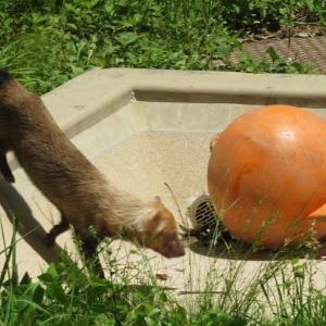 楽書き雑記「東山動物園で初めて『ヤブイヌ』と出会いました」