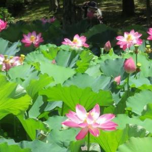 楽書き雑記「満開=名古屋・鶴舞公園のハス池」