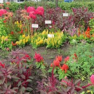 楽書き雑記「いろいろなケイトウが咲いています=名古屋市農業センター」