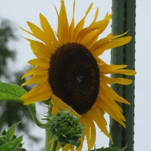 楽書き雑記「ジャンボなヒマワリ『コング』咲き始める=名古屋市農業センター」