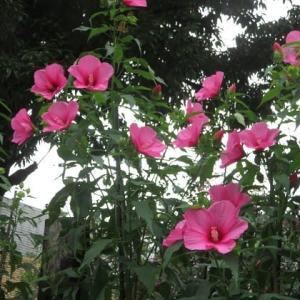 楽書き雑記「本格的な夏を歓迎するタイタンビカス、カンナ、ヒマワリなど=名古屋の名城公園」