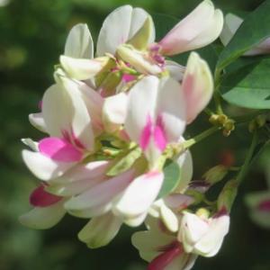 楽書き雑記「庭のハギのエドシボリが満開。シラハギは咲き始め」」