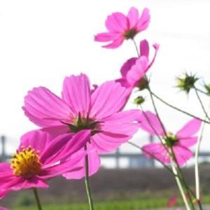楽書き雑記「華まつりは中止されても、咲き誇るコスモスとバラ=名古屋・庄内緑地公園」