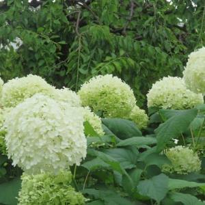 楽書き雑記「シーズンの終幕を飾る白い花木の女王」