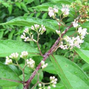 楽書き雑記「庭に咲く小さな花2つ」