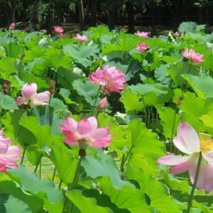 楽書き雑記「花数増やす名古屋・鶴舞公園のハス」