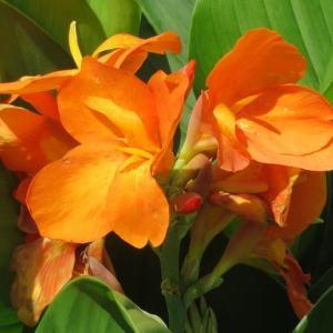 楽書き雑記「炎天下を楽しむように咲くカンナ」