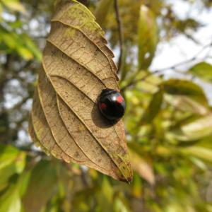 <冬の昆虫たち>ナミテントウ