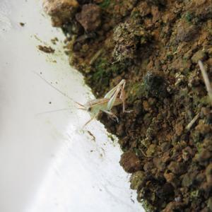 卵からのヒガシキリギリス飼育Ⅲ ① 孵化