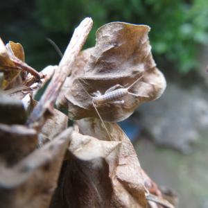 カネタタキ 若虫