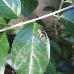 アオマツムシ 若虫