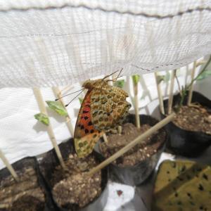 ツマグロヒョウモン砲④ キアゲハ幼虫飼育⑦
