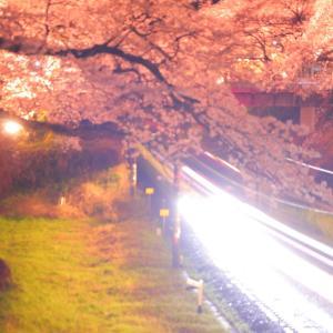 山北の桜並木で夜桜を撮影する。