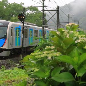 紫陽花と西武電車を撮影する。