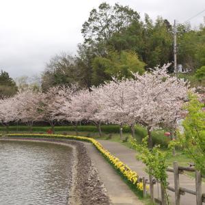 坂田ヶ池の桜
