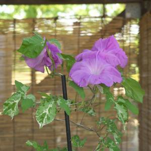 くらしの植物苑の朝顔 二杯目