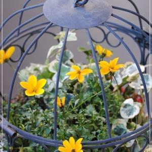 春まで楽しむ寄せ植え♪