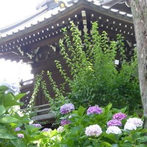 東京のあじさい寺白山神社♪ 色とりどりの紫陽花を見て来たよ♪
