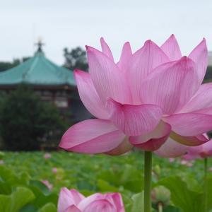 今年も不忍池の蓮を見に行ってしまった♪ 上野はやっぱり楽しい♪