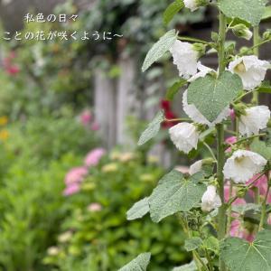 タチアオイが咲き始めました♪