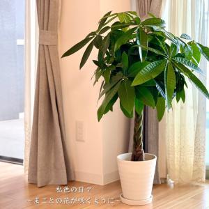 ふるさと納税【鹿児島県指宿市】観葉植物 パキラ7号鉢サイズ(80cm前後)