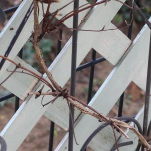 旧枝咲きクレマの剪定     マジックフォンテーン