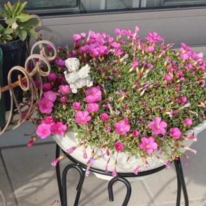 オキザリス 桃の輝き 毎年咲いてくれます(*^^*)