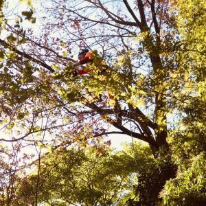 枯れたクヌギ・樹登り特殊伐採