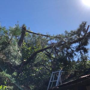 京都府伐採・京田辺市伐採・台風災害事例・台風で松の木倒木・mayugarden