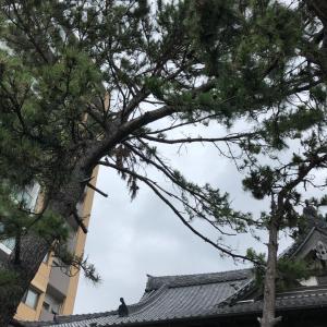 兵庫県明石市で松の木・台風対策伐採・剪定 ・mayugarden