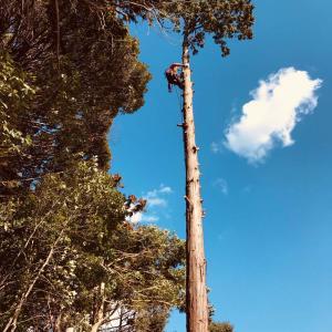 兵庫県・宝塚市で高木ヒノキの台風対策特殊伐採