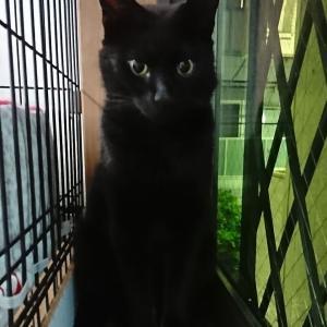 【保護っ子さん情報】美しい黒猫へと変貌した「おはぎ君」が、未来の家族とお見合いしましたぁ~♪