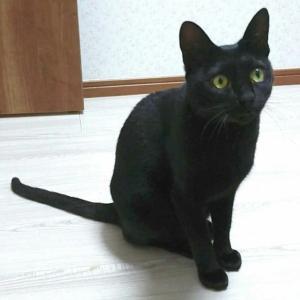 """イケメンな黒猫の「おはき君」、""""ずっとの家族""""のもとにトライアルへ"""