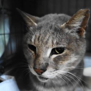 ◆拡散希望◆福島・被災地で8年間も飼い主さんの帰りを待っていた猫の「神代くん」、残された時間は…