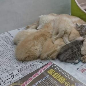 ◆許されるのか◆ 冷たい床で授乳をする母猫を展示する信じられないお店に対する、アドバイスを求む