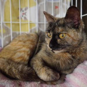 【保護っ子情報】栄養失調で成猫なのに子猫の体重しかなく危険な状態だった「つむぎちゃん」