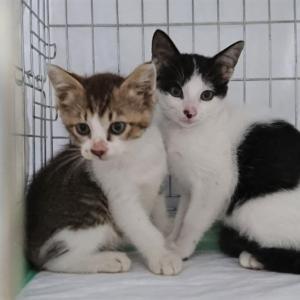 【7月11日の活動報告】「みぃちゃん」が繋ぎ助けてくれた赤ちゃん猫の「かぶ君」&「さりーちゃん」