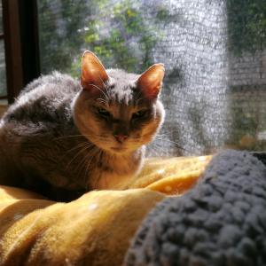 【訃報】あの日からずっと飼い主さんの帰りを待っていた被災猫「神代くん」が、神のもとへ