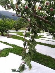 みさか白鳳の収穫