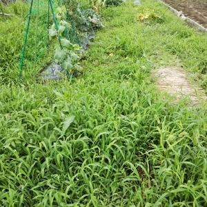 とうもろこしの収穫とその他の野菜たち