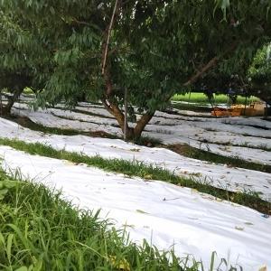 なつおとめの収穫~雨とカメムシとの戦い~
