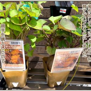 392))さつまいも(あんのん)の栽培を始めました【最新更新2021年5月25日】