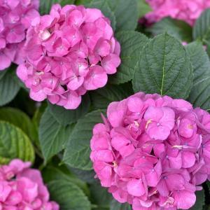 紫陽花(^^)