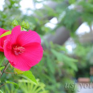 赤と白のタイタンビカスがUSJで咲いている