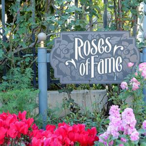 USJのバラ園【Roses Of Fame】で秋のバラが見頃を迎えています