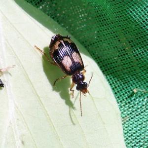 ミヤマジュウジアトキリゴミムシ