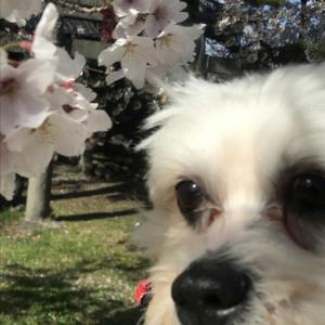 桜の花筏?