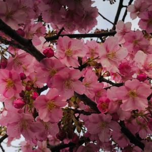 早咲きの河津桜を見に行きました♪